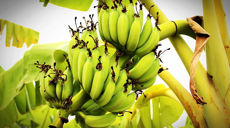 banany polza